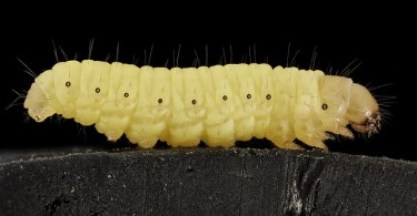 wax moth larva