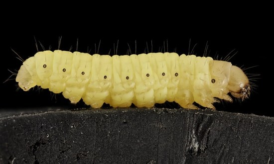 Freezing wax moths eggs prevents the growth of larvae.