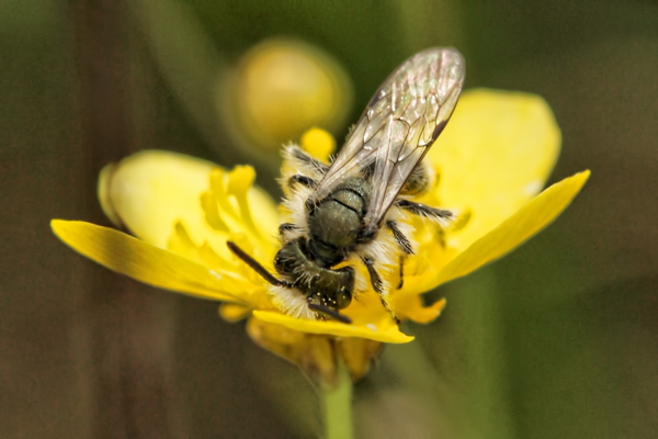 An Andrena on buttercup