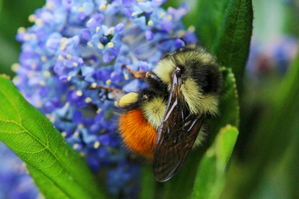 Black Bumble Bee >> The Dazzling Black Tailed Bumble Bee Honey Bee Suite