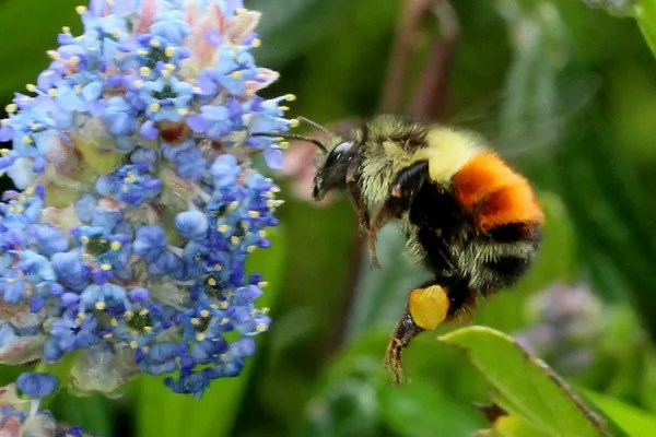 The bees were making the high-pitched whine of buzz pollination