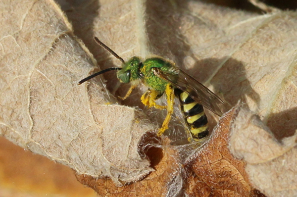 Agapostemon on a dried common burdock leaf.