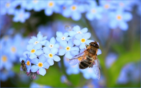 A drone, Eristalis tenax, fly on forget-me-nots.