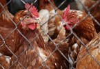 Hens behind a chain link fence. Is poultry blood in bee feed a good idea.