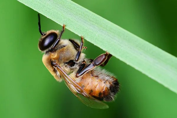 What is a honey bee drone congregation area? - Honey Bee Suite