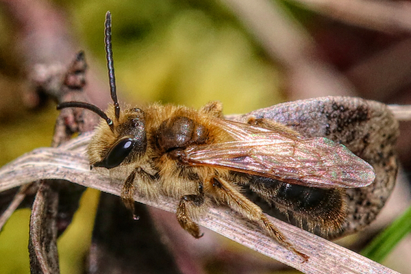 Photo below the Native Bee Quiz. An Andrena bee rests in the leaf litter of the forest. From a distance, some of the native bees can be confused with honey bees.
