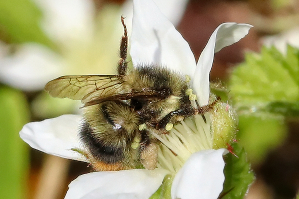 This bumble bee, <em>Bombus mixtus</em>, inhales a Pacific Northwest native flower, the trailing blackberry or <em>Rubus ursinus</em>.