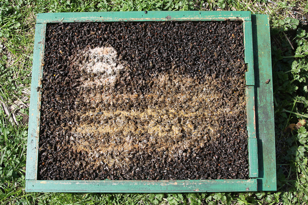 <strong>Dead Bees Layer:</strong> This thick layer of dead bees completely blocked the screened bottom. But both the general hive debris (tan) and the sugar crystals from a candy brick (white) are <em>on top</em> of the layer of dead bees, meaning they are more recent. In spite of all the dead, this colony thrived and became a good honey producer.