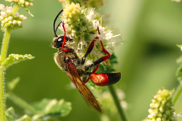 A solitary wasp with minty-fresh breath, forages in the garden.