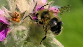 Honey bee myth: bees don't sting at night - Honey Bee Suite