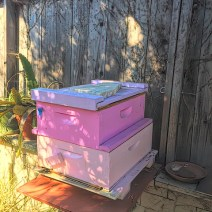 Paul Morgan. Three hive in modest Los Angeles backyard. Two were passing through and stayed. Only our 3rd year. 1st year of harvest. 3 very different personalities. This one: 1st harvests May & November. © Paul Morgan.