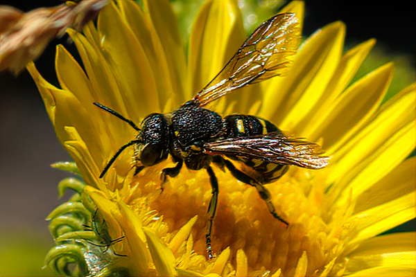 Dianthidium bees have a wasp-like appearance, due to the strong yellow and black markings.