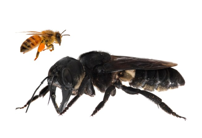 This composite press release photo shows a European honey bee, Apis mellifera in comparison to Wallace's giant bee, Megachile pluto. Image: © Clay Bolt | claybolt.com