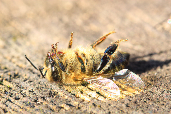 The pesticide problem: It's hard to know what our bees get into, but the sudden appearance of a large pile below the entrance is often a sign of pesticides.