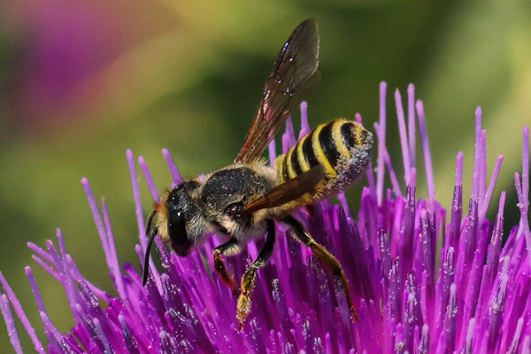 Leafcutter on thistle: This leafcutter, Megachile (Sayapis), collected purplish-blue pollen from a thistle.