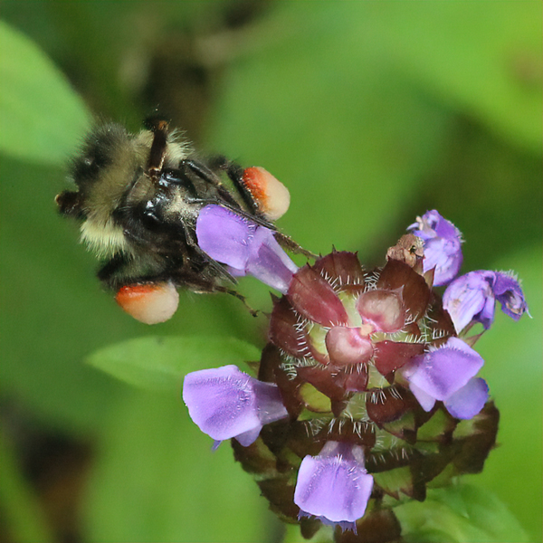 Multicolored pollen baskets: This bumble bee changed flowers mid-foraging trip, something honey bees seldom do.