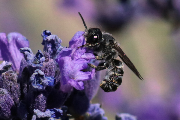 This small bee, Megachile angelerum, is nectaring on lavender blossoms.