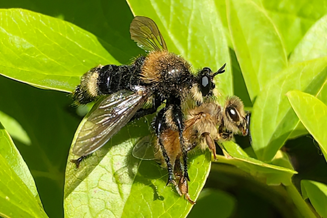 A robber fly catches a honey bee for dinner. © Erik Luthy.