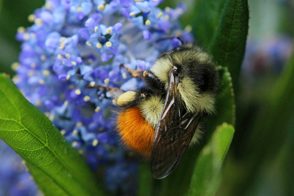 Bombus melanopygus: The orange-rumped version of the black-tailed bumble bee is found in the northern parts of its range, while the black-rumped version is found farther south. Both will nest in bird houses.