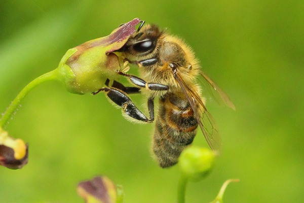 Apis mellifera: The European honey bee has been transported all over the world. Due to its ability to store food and overwinter as a colony, it can adapt easily to a variety of climates.