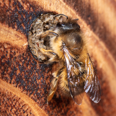 Introduced bees: Osmia taurus was introduced simultaneously with Osmia cornifrons. Both these species have horns, so they are difficult to distinguish.