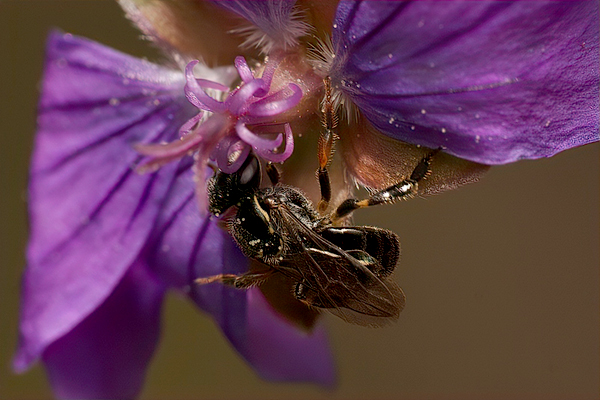 This Plebeia, a stingless bee from Mexico, was discovered in Palo Alto, California, quite a distance from home.  Photo © selwynq, some rights reserved (CC BY-NC). See original photo at iNaturalist.