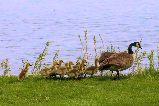 Many types of wildlife are attracted to the reservoir behind O'Sullivan Dam. Like this gosling, I hate being last in line. Photo shows last gosling in a row of 9 trying to catch up.