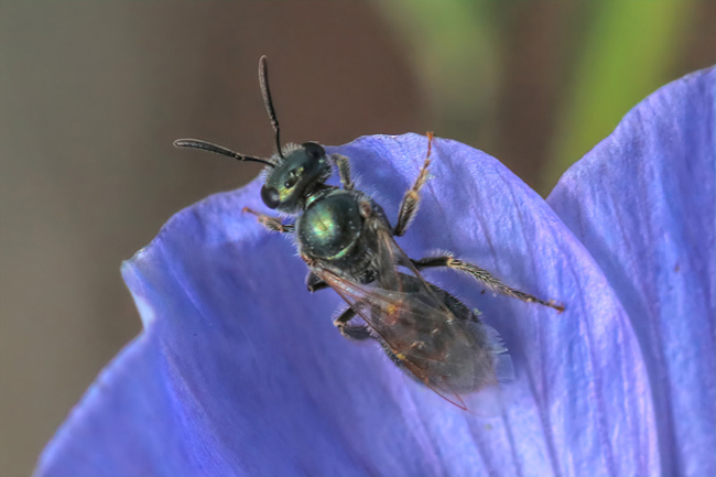 Many small bees, like this Lasioglossum, take advantage of early desert blooms such as wild blue flax.