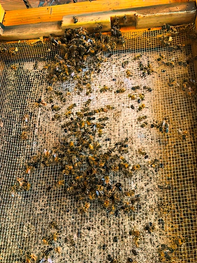 Here you can see a few bees on the bottom screen interspersed with a few small hive beetles.