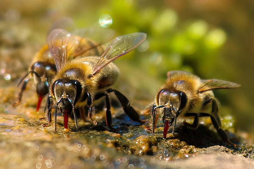 Although some bees have longer tongues, honey bee tongues are long enough to reach deep into many flowers. Pixabay photo.