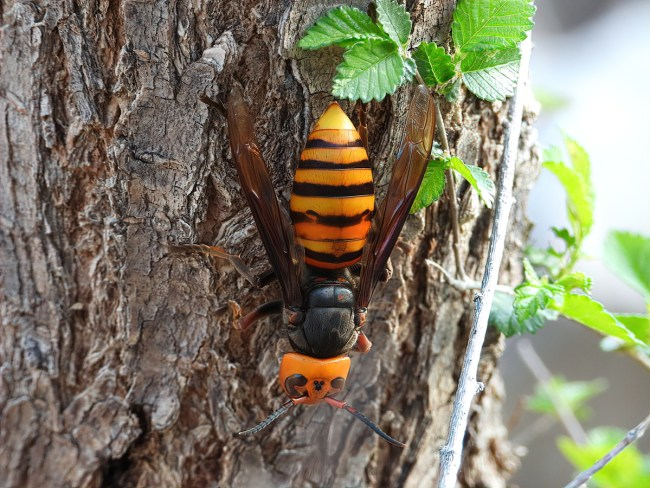 The Asian giant hornet. Photo taken by chapeng and posted to iNaturalist.