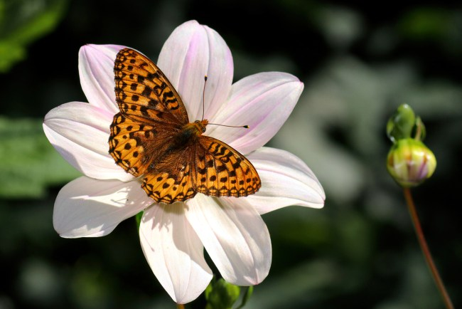 Dahlias attract many types of pollinators.