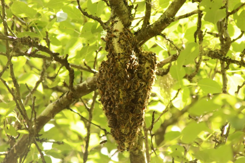 Open-air colony in a pear tree after about four weeks. You can see more comb but fewer bees.