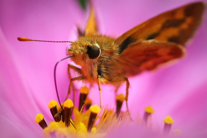 Skipper: Skippers are small butterflies that spend their time drinking from flowers and moving pollen as they go.