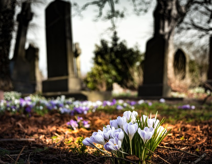 Purple and white crocuses growing between cemetery stones.