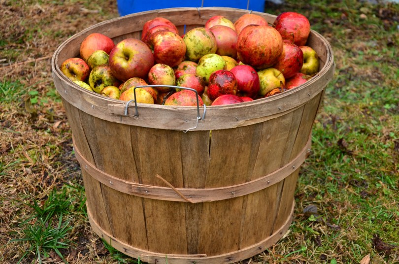 No matter how wormy the apples, they all go into the cider press. Pixabay image by ski4fd