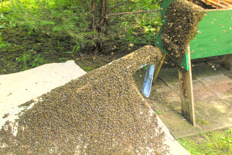 Soon after the bees land on the sheet, the young begin to march up the ramp.