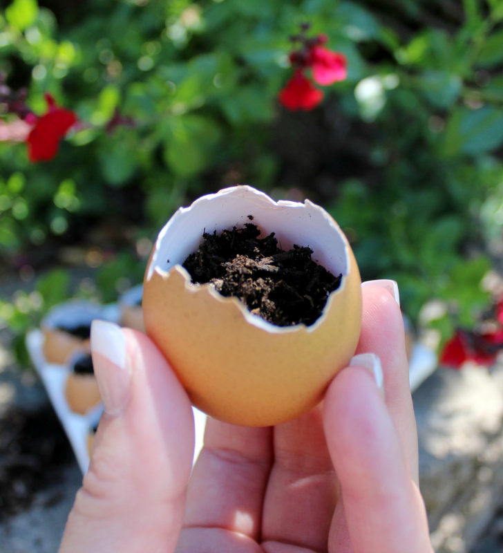 A creative way to recycle eggshells and start seeds in them