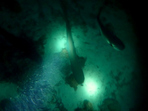 night diving with sharks in Australia