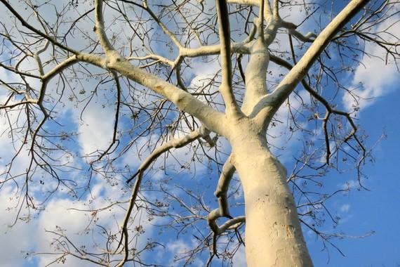 Majete Park Trees