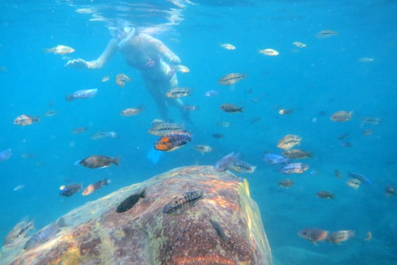 Snorkeling with wildly colorful cichlids on Lake Malawi
