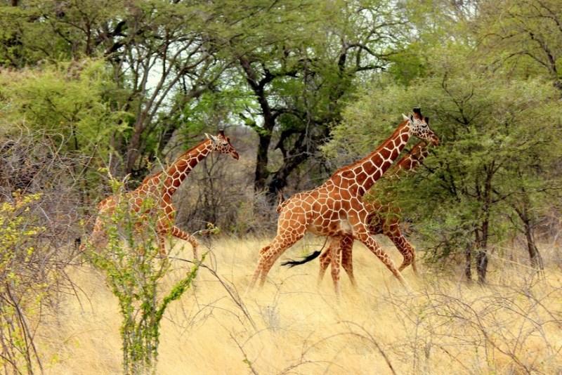Reticulated giraffes