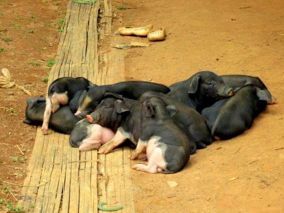 Piglets in Thailand