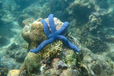 Purple star fish on gili meno