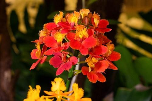 Pam Waki's Epi. Pom Pom 'Lake View' won the Best Epidendrum trophy.
