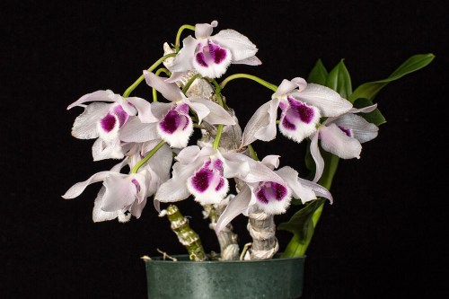 Although tagged as Den. rhodopterygium, Den. parishii is the accepted species.  This plant is a keiki that was given to me by the late Richard Takafuji of Orchid Center.  The parent plant came from Tropical Orchid Farm on Maui.