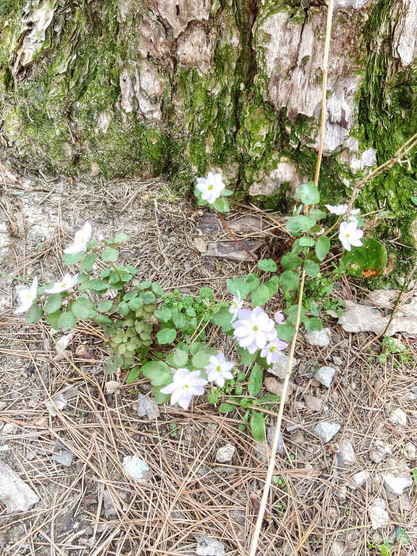 Light purple and white wildflowers bloom at the base of a moss covered pine tree, surrounded by a bed of pine needles.
