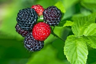 Black Raspberry 'Cumberland'