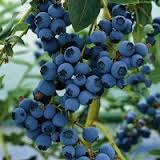 Blueberry 'Blueray'