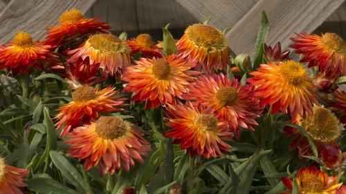 Bracteantha (strawflower) 'Sundaze Blaze' (Proven Winners)